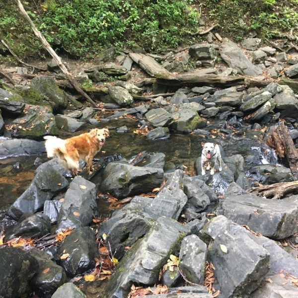 River dogs roaming free in Asheville Cove Creek Waterfalls