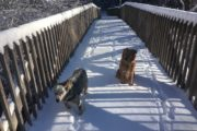 Dogs playing on snow