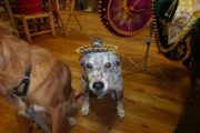 Pet dog Margie wearing a mexican hat sombrero